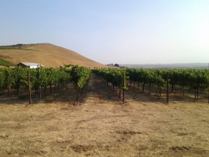 Vineyard view 2013
